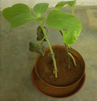 Plant pathology research proposal